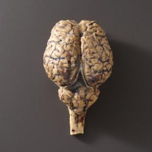 Preserved Horse Brain