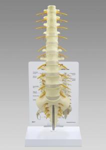 GPI Anatomicals® Sacrum T8 Spine
